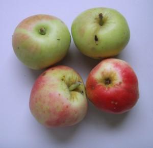 """""""jabuka petrovača"""""""