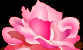 ružičasta ruža